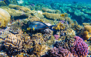Tropical Fish on coral reef in Ras Mohammed national park, Egypt