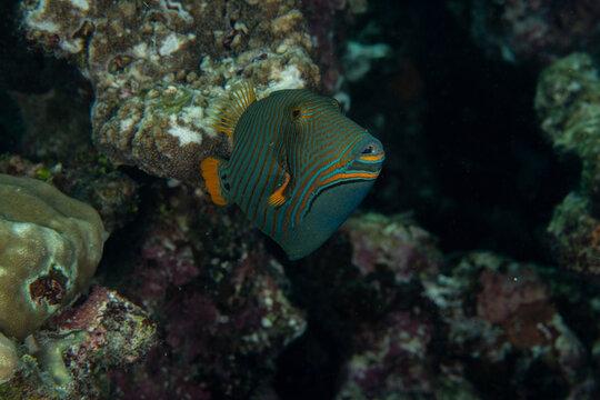 Orange-striped Triggerfish, Balistapus undulatus in a tropical coral reef