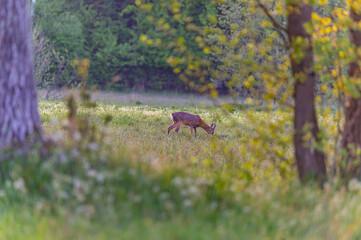 Photo sur Plexiglas Roe roe deer in the wild