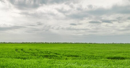 Fototapete - Rural summer landscape. Green field of wheat and blue sky on farm. Green meadow. Nature landscape wilderness 4k time lapse. Agriculture. Countryside outdoors, relaxation weather, space scenic.