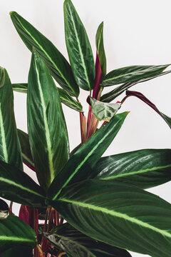Prayer plant (stromanthe sanguinea) on a white background. Close-up on beautiful foliage of stromanthe sanguinea.