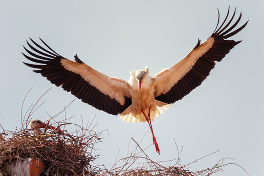 white stork (Ciconia ciconia) flying and entering the nest at sunset, Alfaro city, Spain
