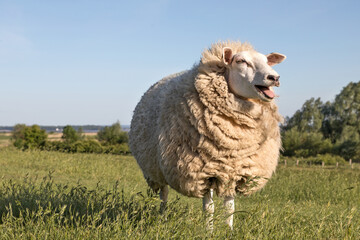 mowing_sheep