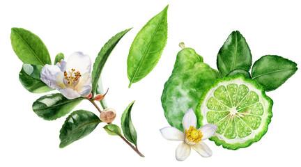 Tea leaves bergamot watercolor illustration isolated on white background