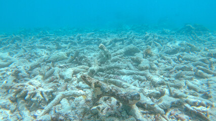 CLOSE UP: Sad view of a devastated bleached exotic coral reef in the Maldives.