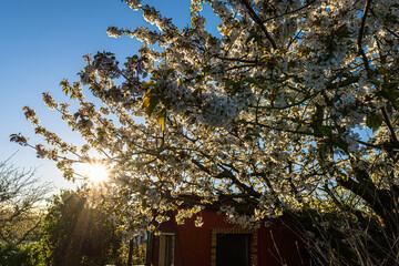 Kirschblüte mit Sonnenstern