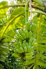 Banana tree in Koh Samui in Thailand