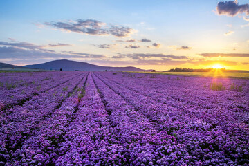 Poster Prune Rural landscape with field of purple blooming garlic on sunset and mount Sleza on background, Lower Silesia, Poland