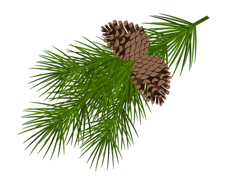 Christmas tree branch with a cone vector illustration