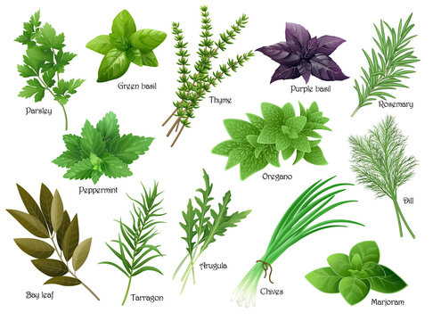 Fresh herbs collection: arugula, dill, parsley, green chives, oregano, green and purple basil, marjoram, thyme, tarrgon, bay leaf, peppermint, rosemary. Vector illustration.