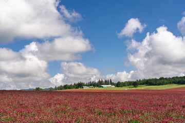 Poster Crimson A field of Rd Clover (Trifolium pratense) near Jefferson Oregon. It is a herbaceous species of flowering plant in the bean family, used in the treatment of many health maladies and diseases.