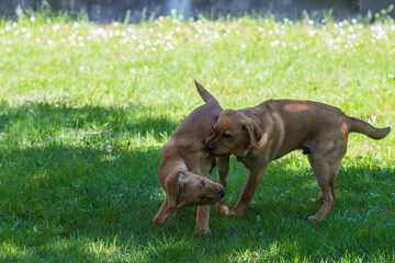 Labrador-Duo in der Welpenstunde