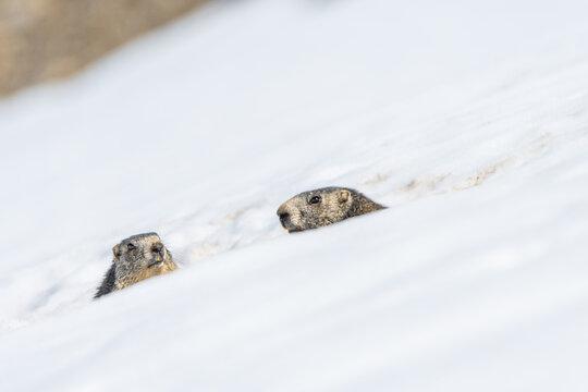 marmottes sur la neige en montagne