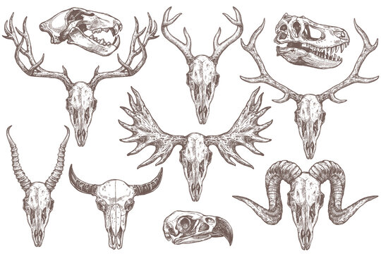 Vector collection of hand drawn animals skulls. Sketch skulls of eagle, dinosaur t-rex, lion, antelope, sheep, deer, elk, moose and buffalo. Engraved set of skeletons
