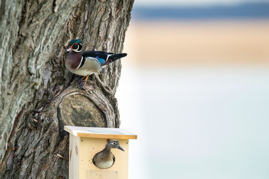 Hen wood duck in nesting box with drake above.
