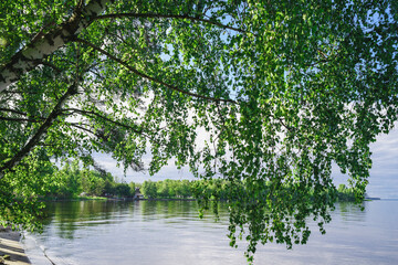 Birch trees hang over the river
