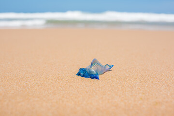 Blue bottle jellyfish on the sand with soft water wave