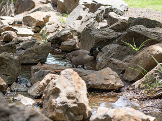 Goose watching over its goslings in small man made creek