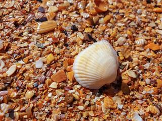 Pectinidae. A warm summer morning on the coast of the Azov sea, Krasnodar region.