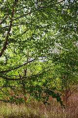 brzoza tree brich  白樺