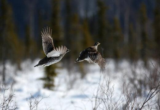 Spruce grouse Interior Alaska