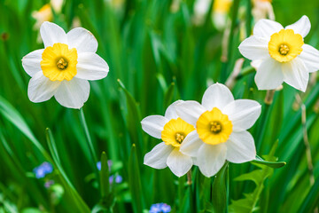 Poster Narcissus white flowers daffodil on grass background. spring