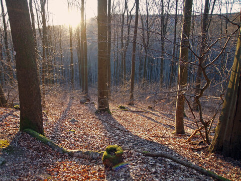 beech forest in early spring at sunset at Taunus mountain range, Hesse, Germany