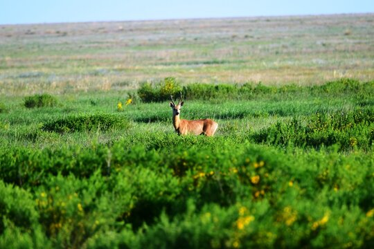 The Siberian ROE deer (Capreólus pygárgus) is a cloven - hoofed animal of the deer family, related to the European ROE deer, which flaunts in the steppe on a summer day.