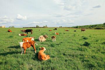 Foto op Plexiglas Weide, Moeras small calf and a cow graze on a green meadow in summer