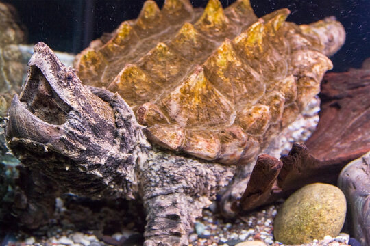 The alligator snapping turtle is lying on the bottom with its head up and its mouth open
