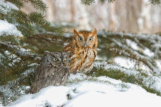 Eastern screech owls in fir tree in Northern Minnesota