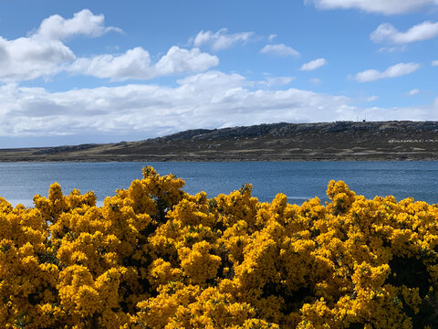 """The town called """"Stanley"""" on the Falkland Islands. Track close to the ocean with yellow blooming gorse."""