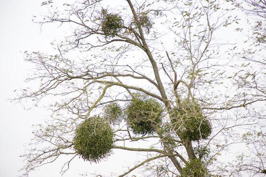 mistletoe growing on a tree