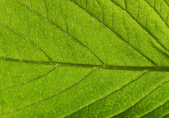 Wall Mural - Close up of Green leaf background texture