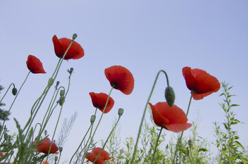 Wall Mural - Red poppy