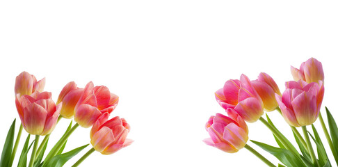 Wall Mural - Red tulip on white background.