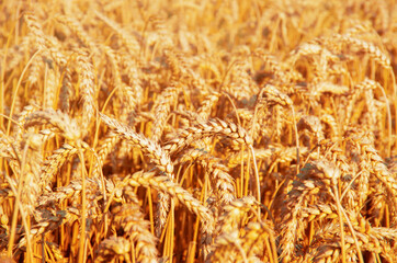 Wall Mural - Fields of wheat at the end of summer fully ripe