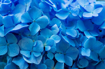 Wall Mural - Blue Hydrangea background. Hortensia flowers surface.