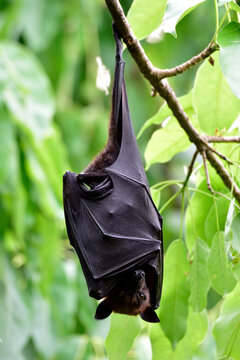 Mysterious Lyle's flying fox (Pteropus lylei) large fruit bat hanging downward under tree branch during daytime with scary figure