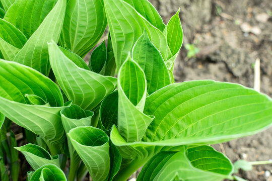 Hosta in garden. Hosta - genus of perennial herbaceous plants of the family Green. Beautiful bright green leaves ornamental plant hosta