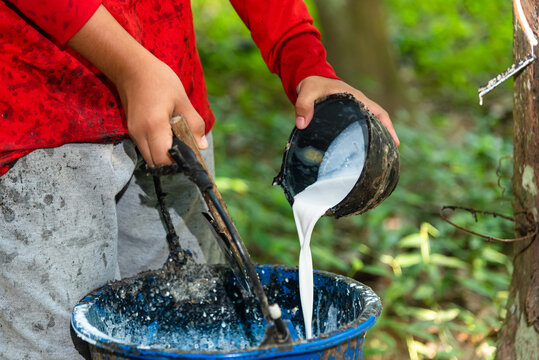 Young man pouring latex rubber from plastic pot to bucket in rubber tree park.Natural rubber latex , Rubber tree and bowl filled with latex.