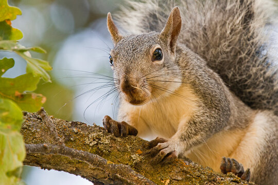 Western Grey Squirrel Curious