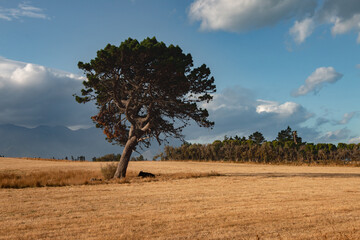 Cow lying under tree. New Zealand countryside, Canterbury.