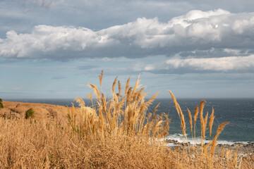 Fountain grass on ocean shore, Kaikoura, New Zealand