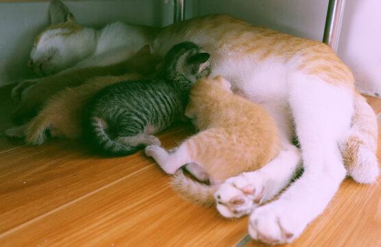 new born kitten breastfeeding from mother cat on floor