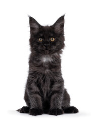 Wall Mural - Majestic black smoke Maine Coon kitten, sitting up facing front. Looking at camera with shiney brown golden eyes. Isolated on white background.