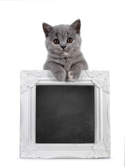 Wall Mural - Cute blue tortie British Shorthair cat kitten, standing behind and holding up a black board filled white photo frame. Looking towards camera with brown shiny eyes. Isolated on white background.