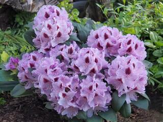 Obraz Rośliny ogrodowe do pięknych ogrodów. Rododendron ,naturalny,piękne,, flora, fiolet, ogrodnictwo - fototapety do salonu