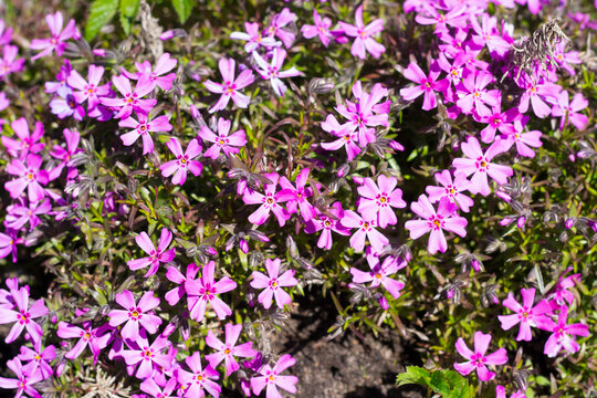 Small alpine purple flowers rock ground cover. Top view background.