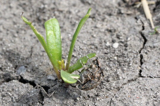Beetroot plants on the plantation damaged by sugarbeet weevil (Asproparthenis punctiventris formerly Bothynoderes punctiventris). It is an important pest of beet crops.